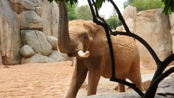 Africký slon prochází Zoo mezi velkými kameny a skalami.