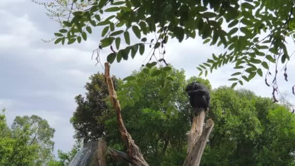 Černá opice, která spí na suchém kufru v parku divočiny, na pozadí velkého vodopádu..