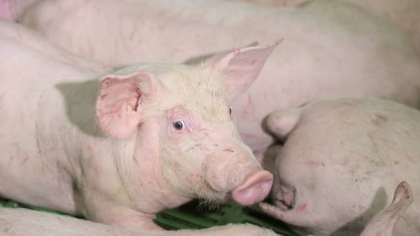 Pigs are resting, lying in the barn. One pig with open eyes, looks. Meat production