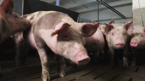 Detailní záběr velkého prasete v bažině, jsou ve stodole, která je špatně osvětlená. Špatné podmínky pro prasata na farmě