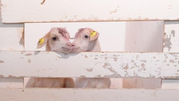 dvě malé bílé děti se dívají přes plot farmy. Kozí farma. Vychovávat malé děti. Velká chovatelská farma pro kozy a skot. Kozy kráčející po farmě.