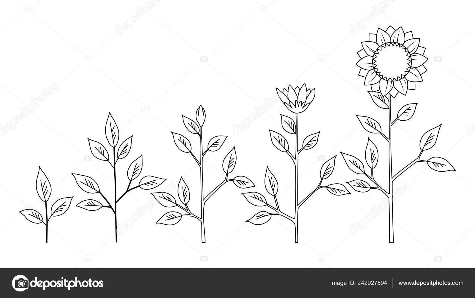 Etapas De Crecimiento De La Planta De Girasol Para Colorear