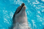 Photo bottlenose dolphin swimming in blue water. Dolphin Assisted Therapy