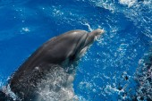 Photo portrait of a happy smiling bottlenose dolphin in blue water. Dolphin Assisted Therapy