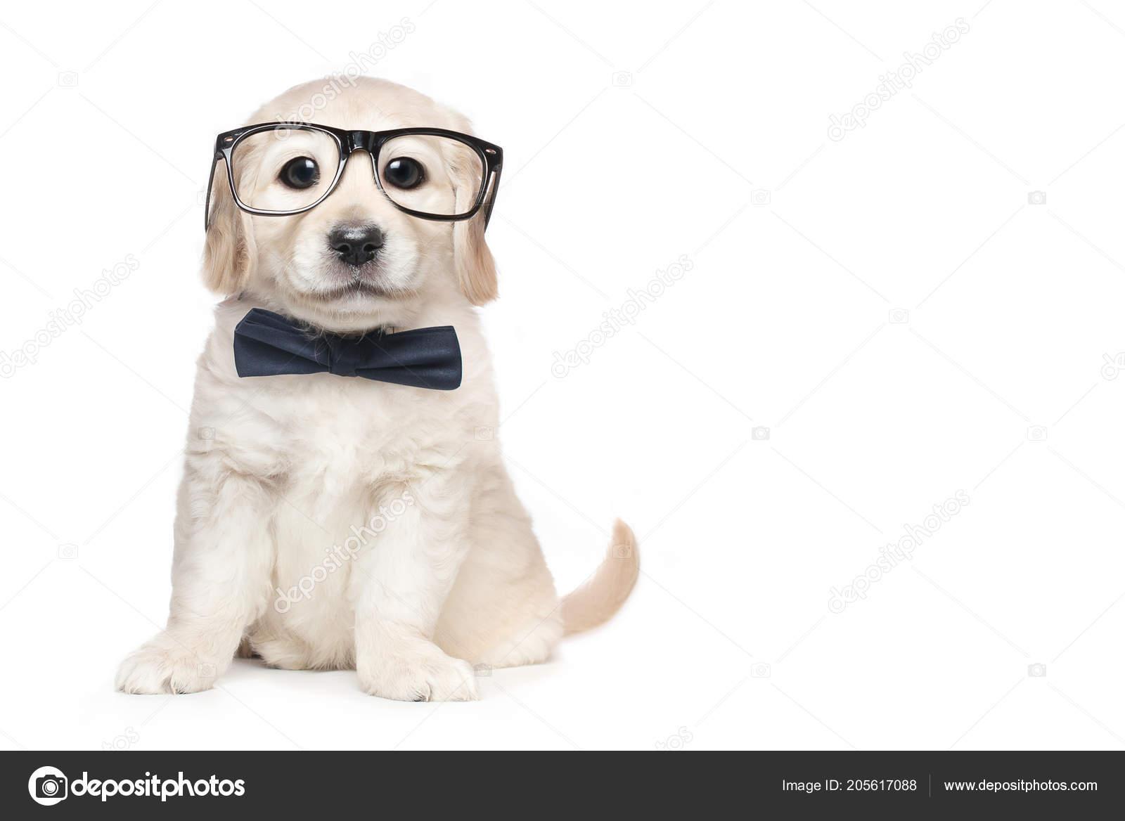 Cute Golden Retriever Puppy Glasses Bow Tie Stock Photo Markez