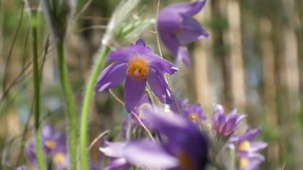 Nemophila. Spring blue flowers in the forest 4k