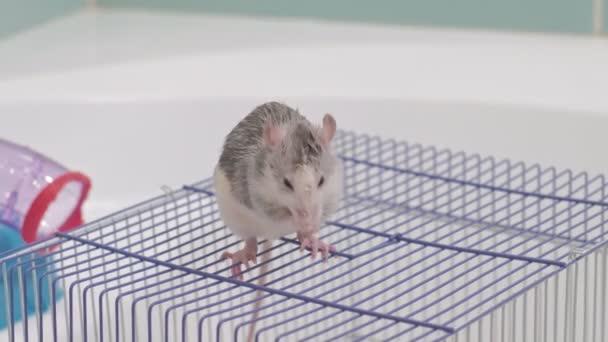 Eine junge Frau kümmert sich um ein Haustier, wäscht eine Pfanne unter einem Wasserhahn mit Wasser und säubert einen Käfig im Badezimmer, ein Nagetier, eine Ratte sitzt auf einem Käfig und wäscht, reinigt seine Wolle