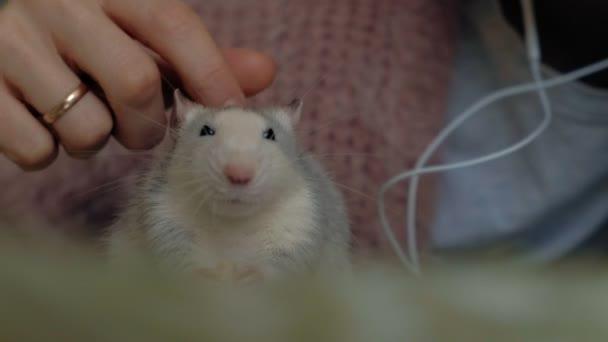 junge Frau mit einer lustigen Ratte zu Hause, die spielt und sie füttert