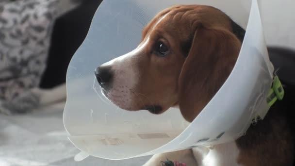 beagle dog in a protective collar, sick