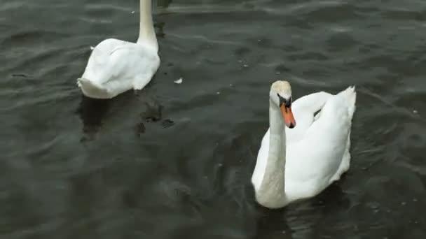 weiße Schwäne auf dem Wasser.