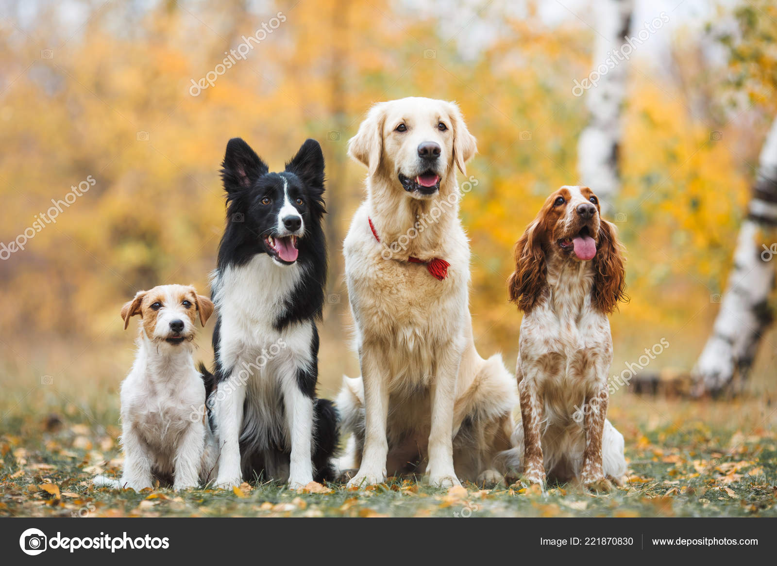 border collie golden retriever russian hunting spaniel jack russell