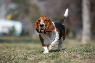 basset hound dog spring