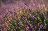Kvetoucí levandule Bushův pohled