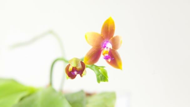 Krásné vzácné orchideje v hrnci na rozostřeného pozadí