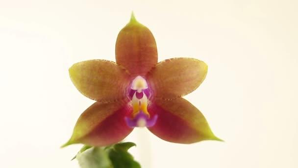 Szép ritka orchidea a potot elmosódott háttér