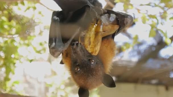 Close-up shot of megabat eating banana hanging upside down.