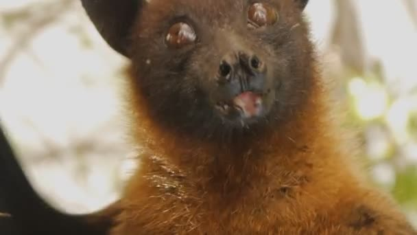 Close-up shot of fruit bats head hanging upside down sticking out the tongue and opening the mouth.