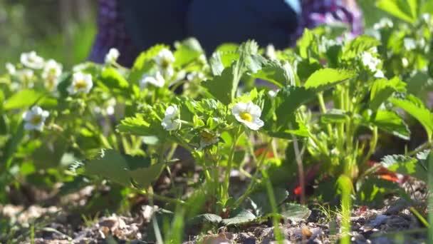 květinové pozadí, práce na zahradní plot s rostlinami, ruce Dámské