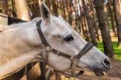 Fotografia Bello cavallo bianco con briglia, in piedi nel corral, Scena rurale, primavera.