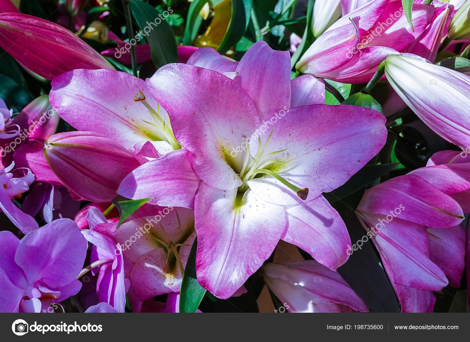 Purple lily flowers antural light stock photo larisaur purple lily flowers antural light stock photo izmirmasajfo