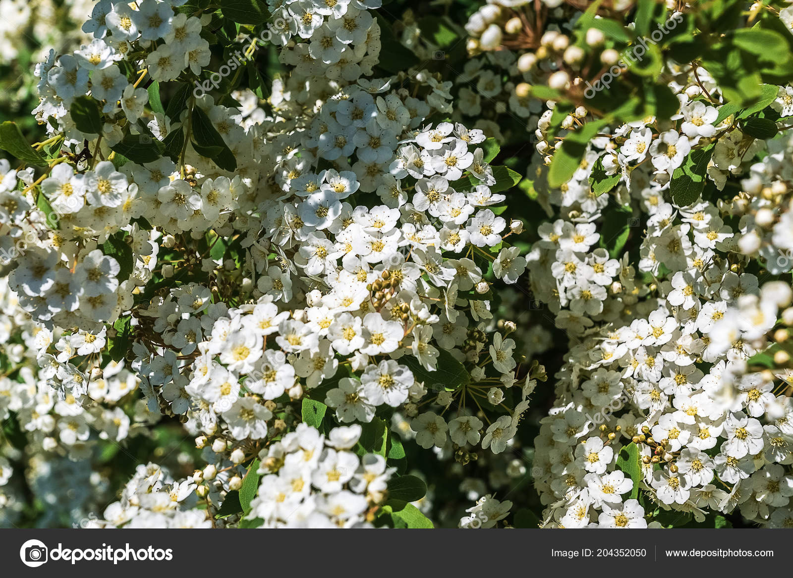 Beautiful Spring Blooming Apple Tree White Flowers Background