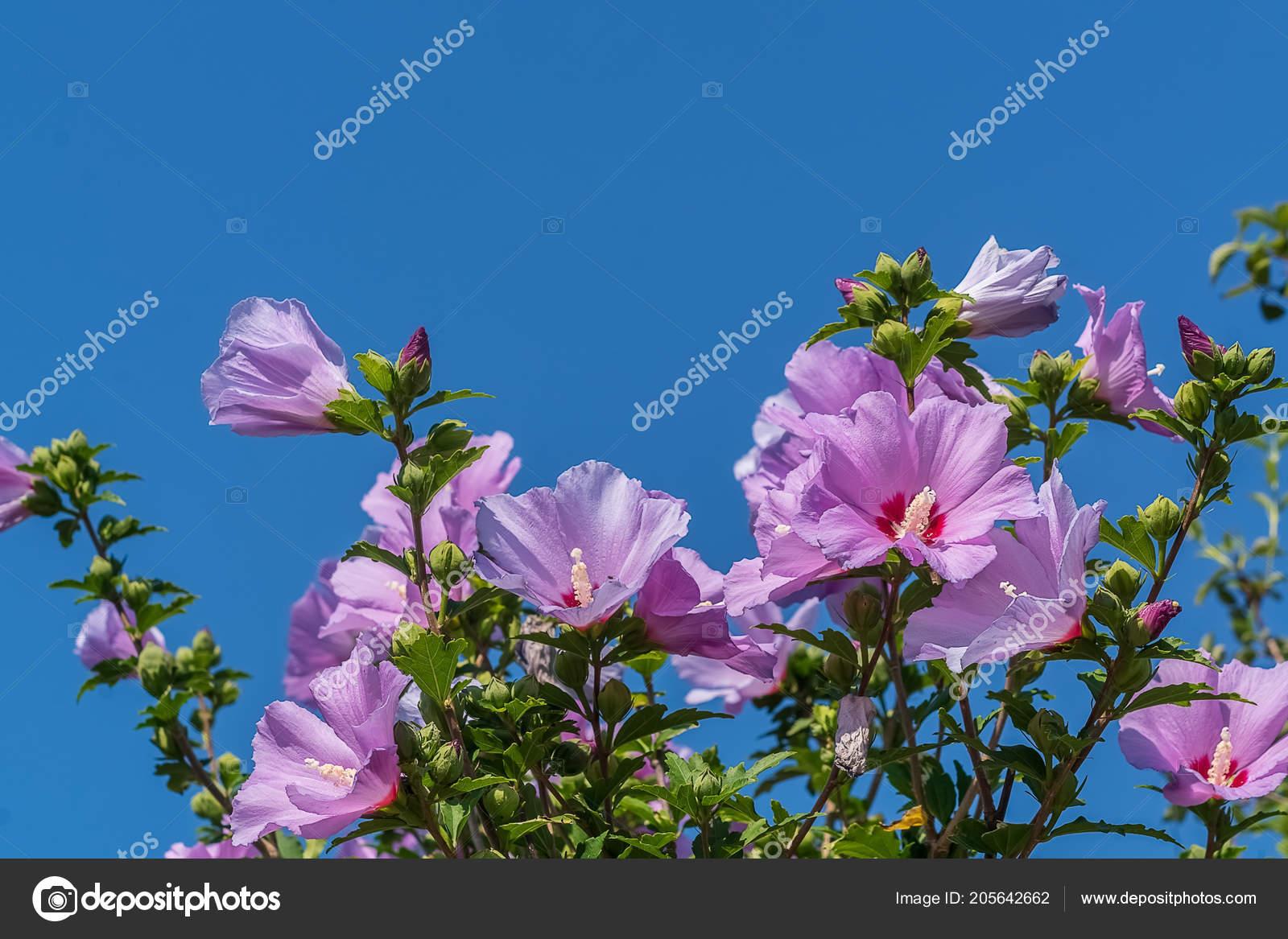 Bush Pink Chinese Hibiscus China Rose Flower Garden Stock Photo