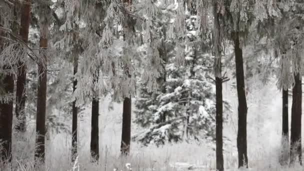 V zimě sníh padá v lese. Zimní čas sněžení. Sněhové vločky padají pomalu. Sněhové bouře zimní scény pozadí. Zasněžené počasí v sezóně sníh