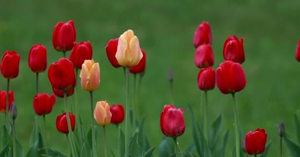 Gyönyörű sárga és piros tulipán virág az esőben a háttérben a zöld fű