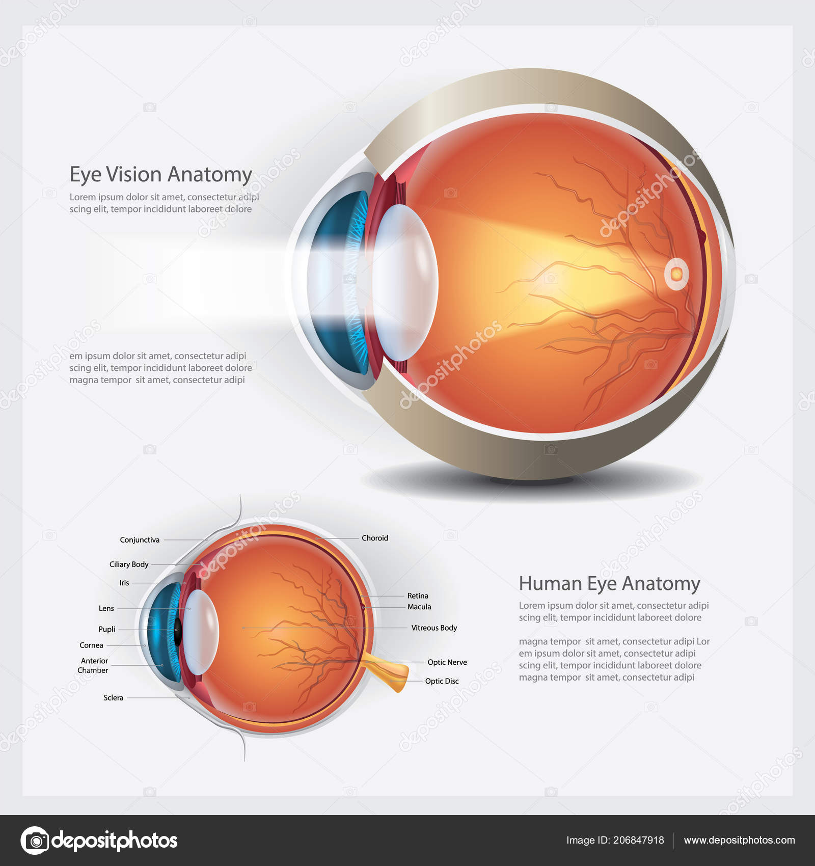 Human Eye Anatomy Vector Illustration — Stock Vector © pongpongching ...