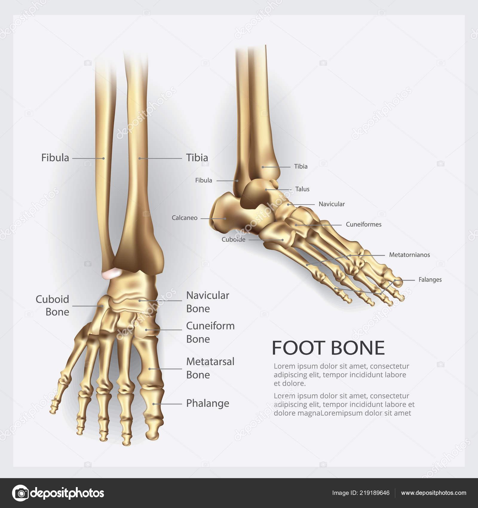 Human Anatomy Foot Bone Vector Illustration Stock Vector