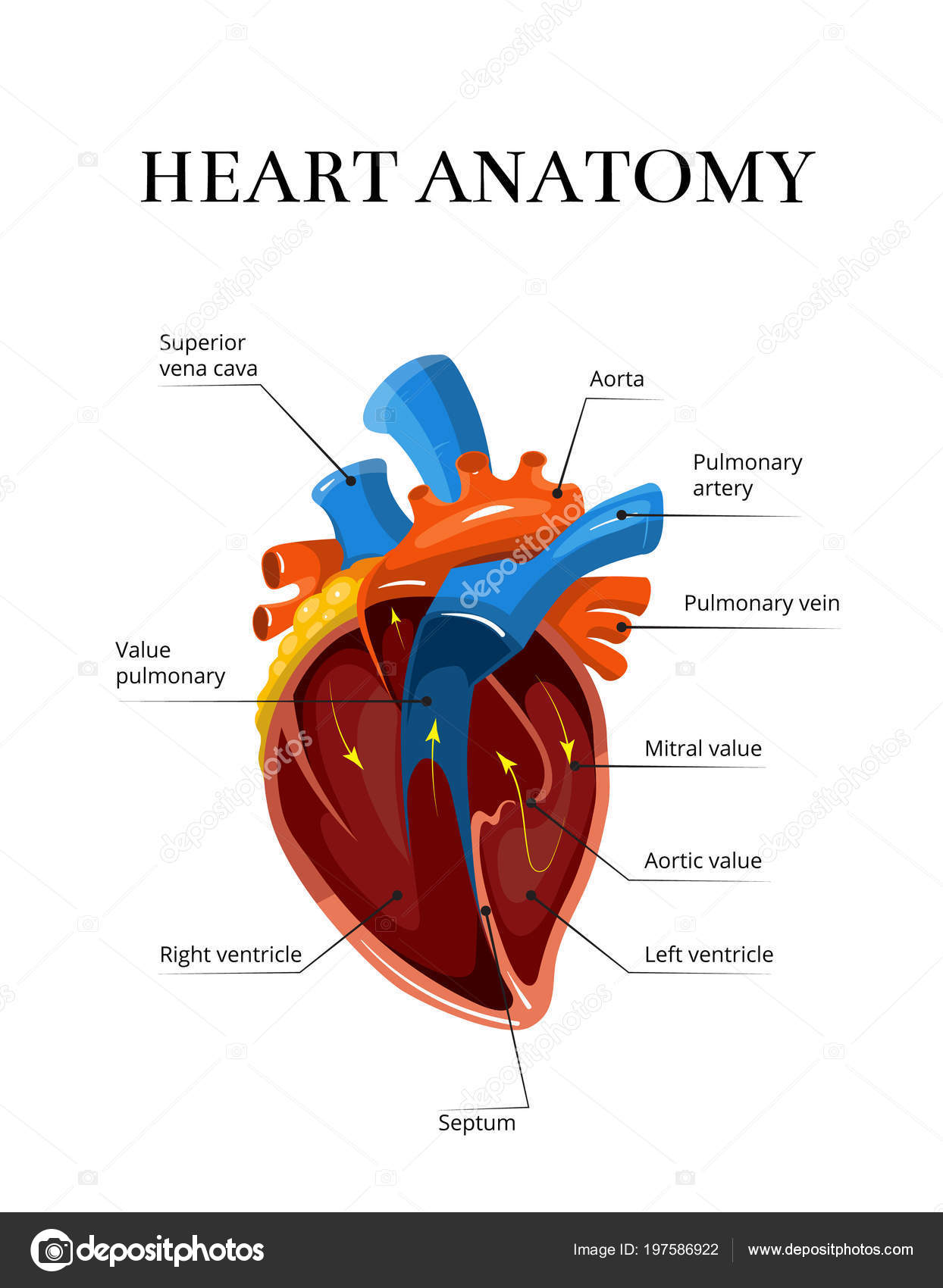 Heart sectional anatomy vector cardiological illustration — Stock ...