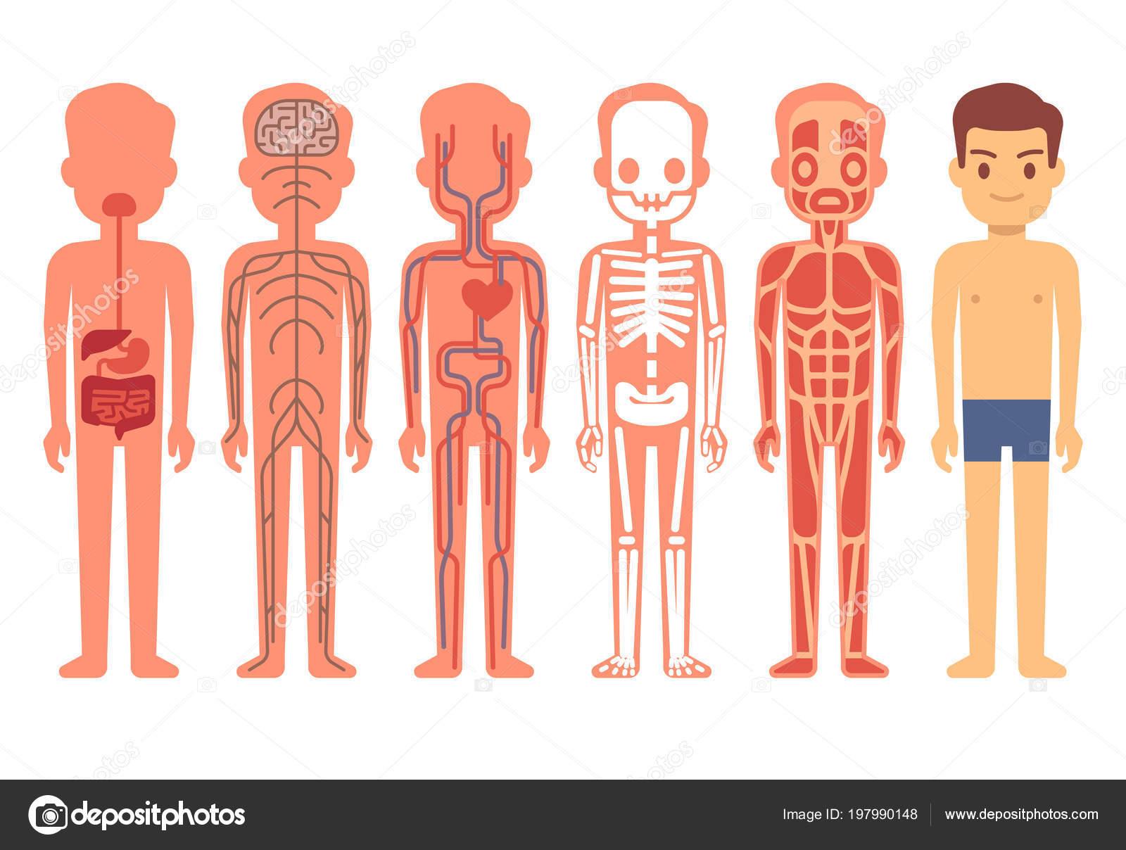 Ilustración de vector de anatomía cuerpo humano. Hombre esqueleto ...