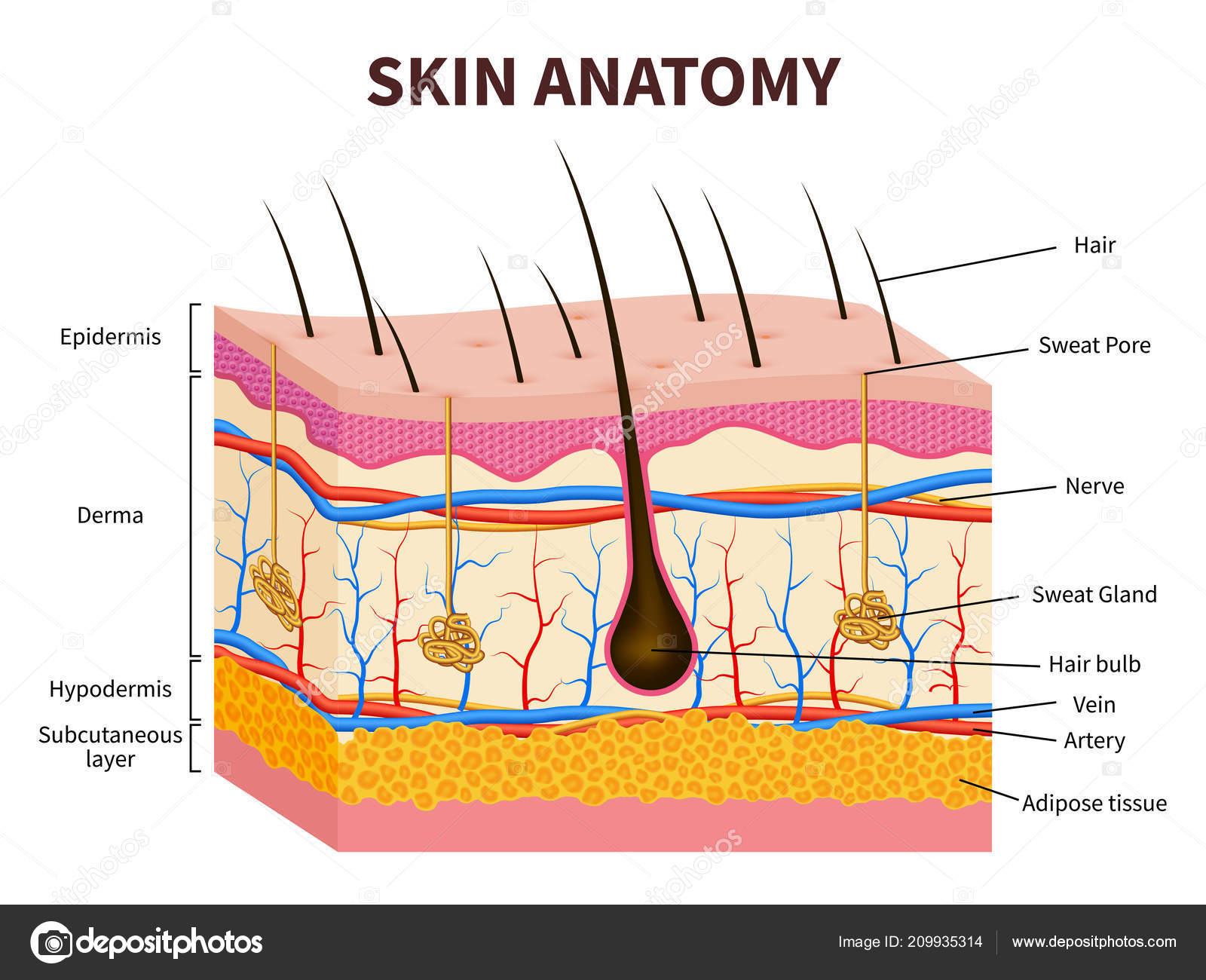 Human skin. Layered epidermis with hair follicle, sweat and ...