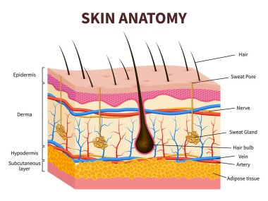 Human skin. Layered epidermis with hair follicle, sweat and sebaceous glands. Healthy skin anatomy medical vector illustration