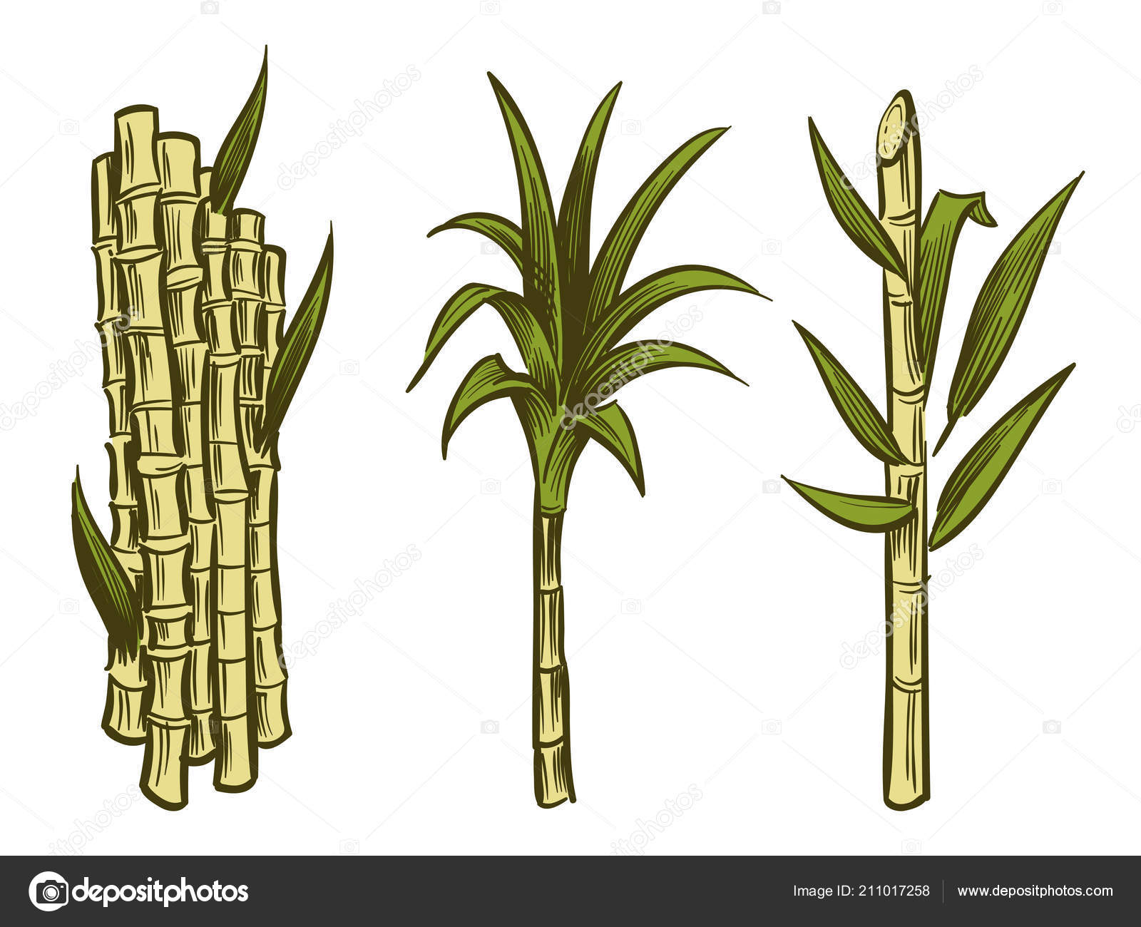 Plantas De Caña De Azúcar Aisladas Sobre Fondo Blanco