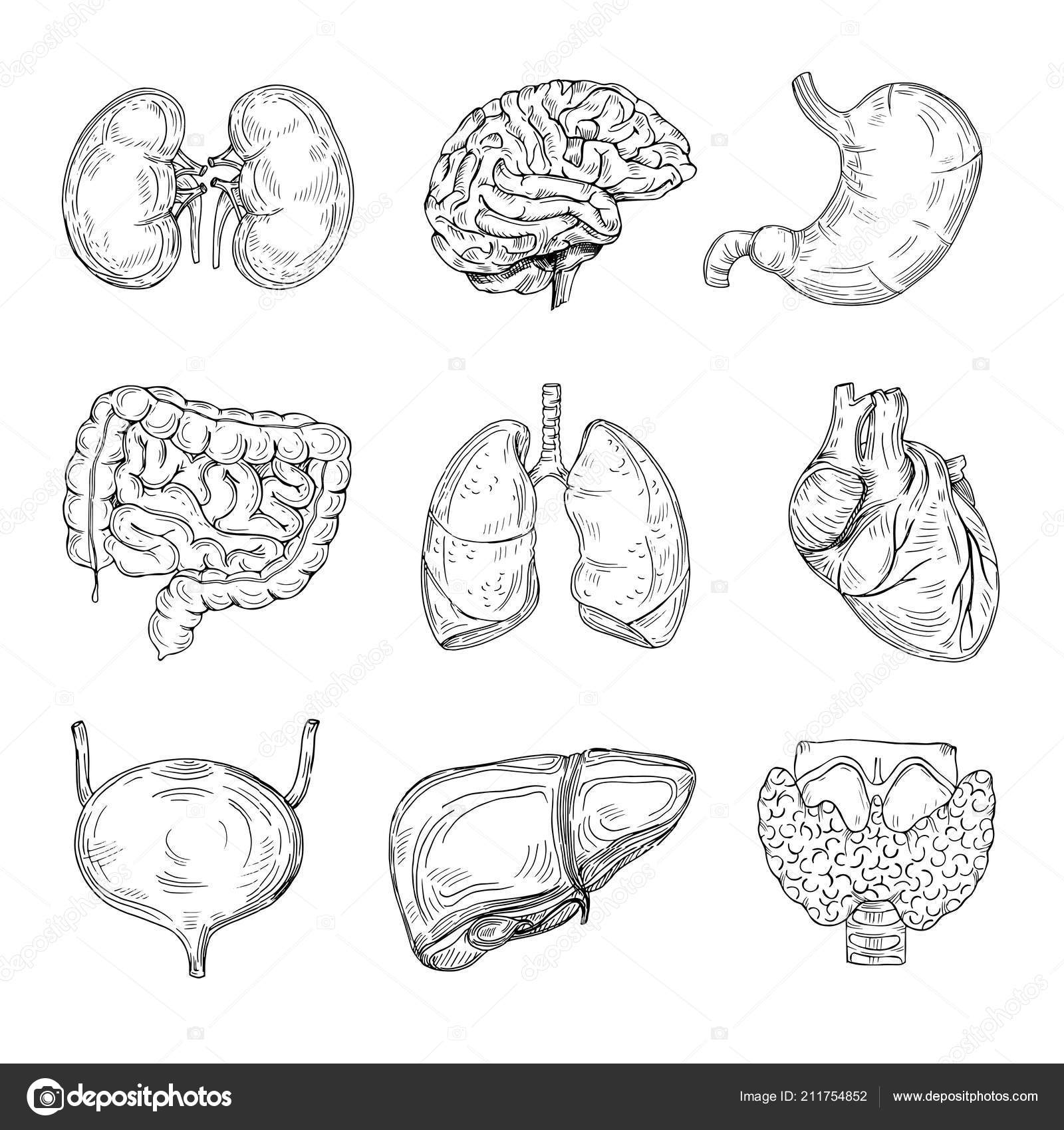 Menschliche Innere Organe Handgezeichnete Gehirn Herz Und Nieren