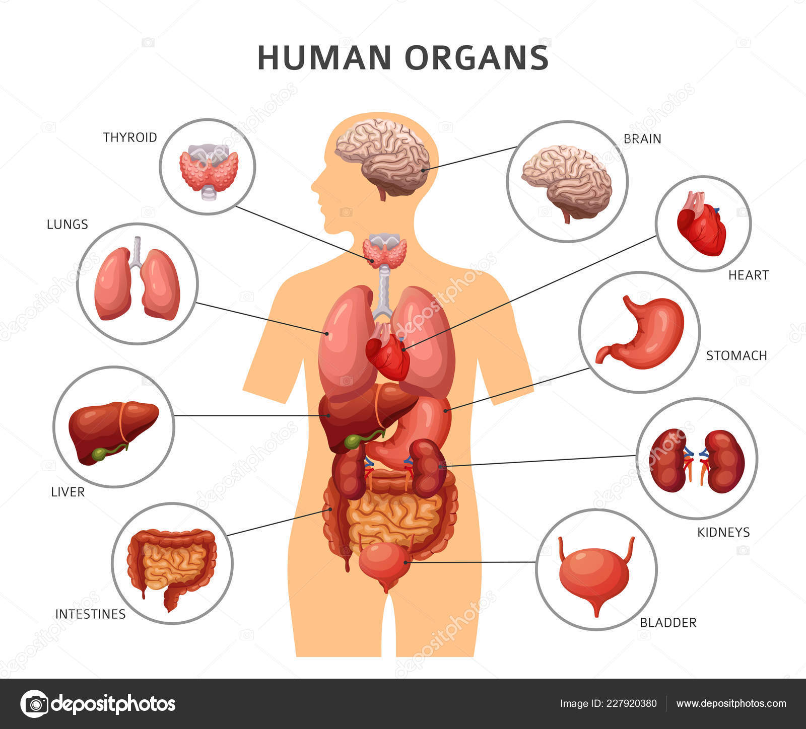 Human Body Internal Organs Stomach And Lungs Kidneys And Heart