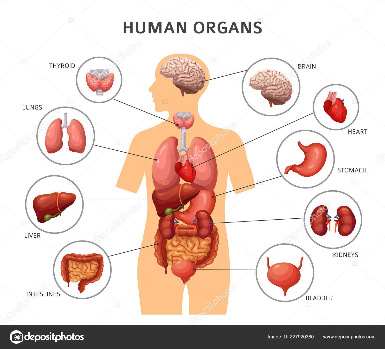 Organe Des Menschlichen Krpers Magen Und Lunge Nieren Und Herz