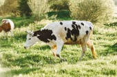 Fotografie Cow on a summer pasture at sunny day