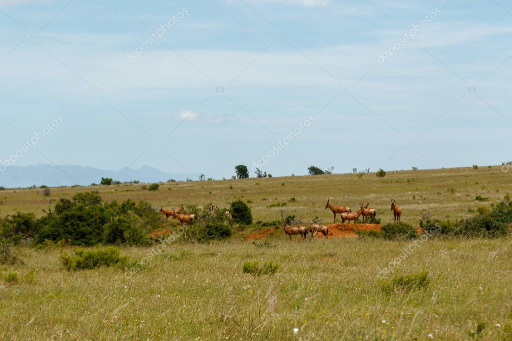 Group of Kudus grazing between the bushes in the field
