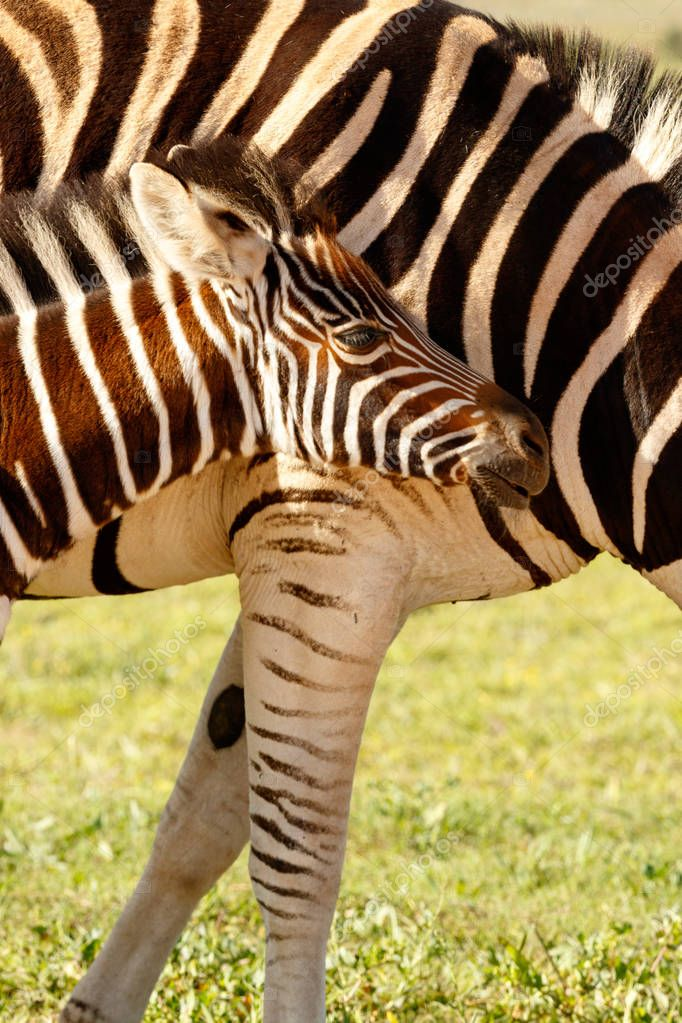 Zebra baby standing tight against her mom in the field