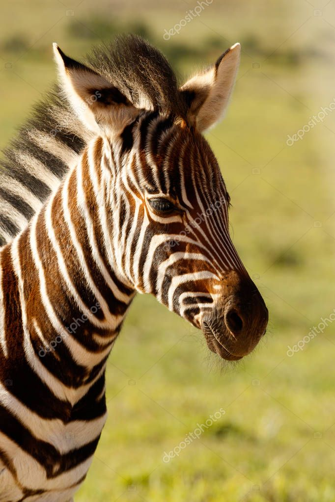 Zebra baby standing alone in the field