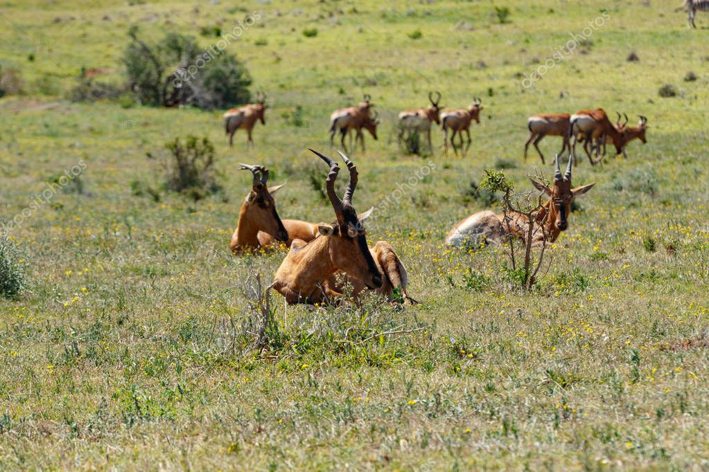 Herd of Red Hartebeest grazing in the grass in the field
