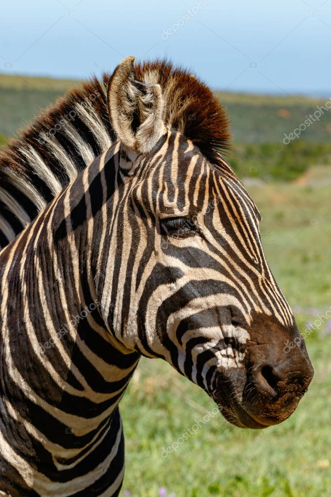 Close up of a Zebra standing and staring in the field