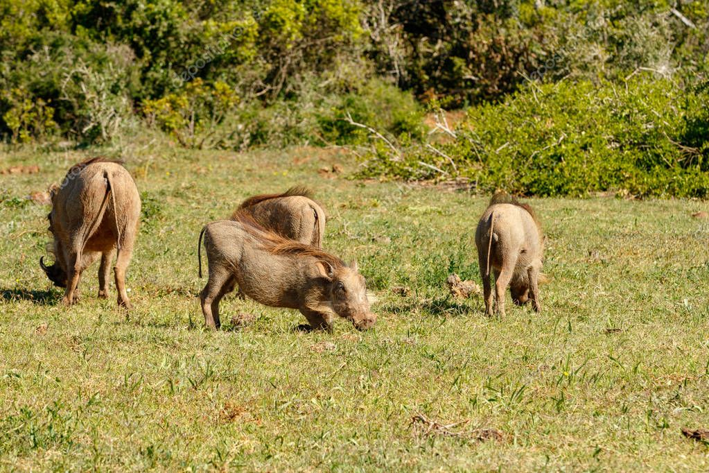 Warthogs gathering together in a circle to eat grass in the field