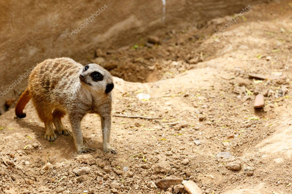 Meerkat standing in the sand and looking to the side