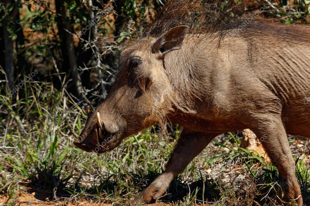 Running warthog between the grass in the field