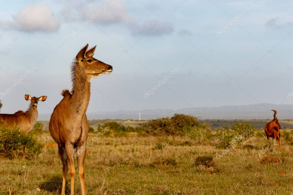 Female Kudu standing and looking to the side in the field