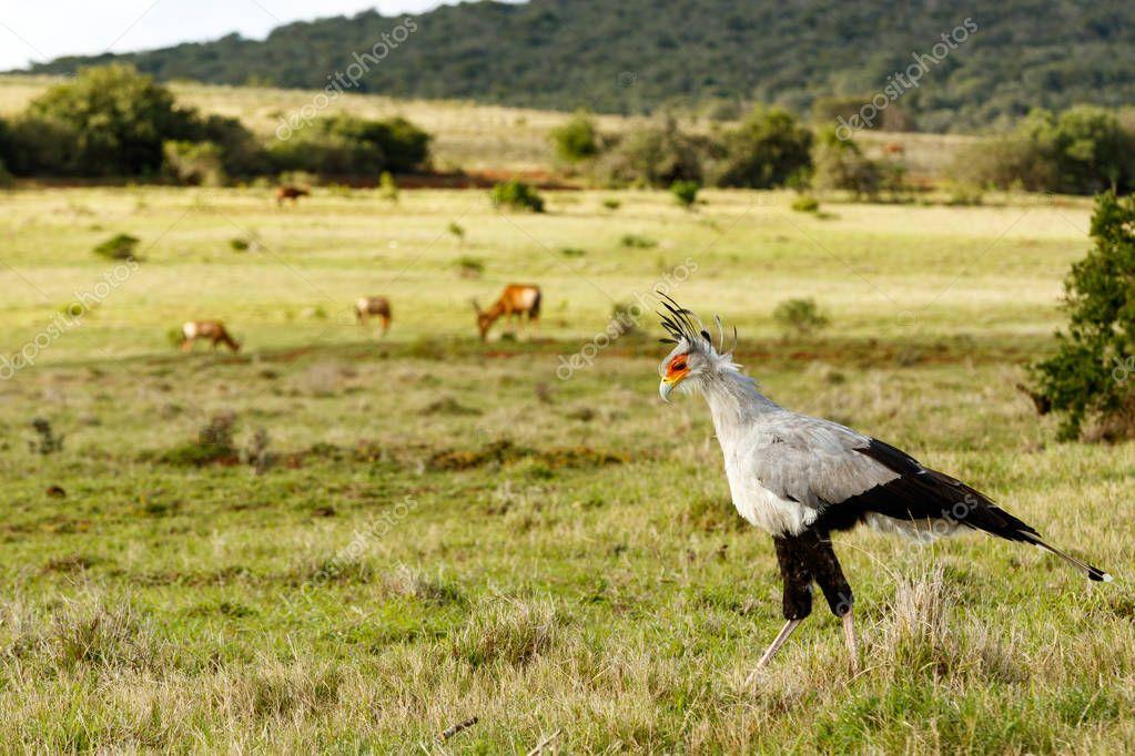Secretary Bird walking with his head down in the field.