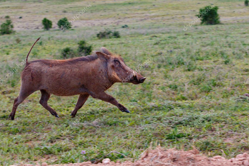Warthog running wild in the grass in the field